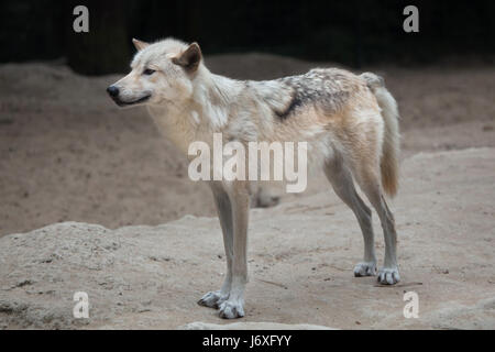Northwestern wolf (Canis lupus occidentalis), also known as the Mackenzie Valley wolf. - Stock Photo