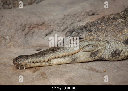 Slender-snouted crocodile (Mecistops cataphractus). Wildlife animal. - Stock Photo