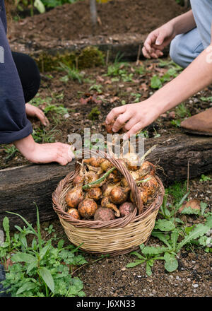 Freshly picked onions from the allotment - Stock Photo