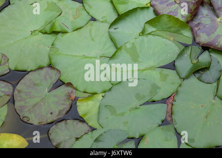 Star lotus (Nymphaea nouchali), also known as the white water lily. - Stock Photo