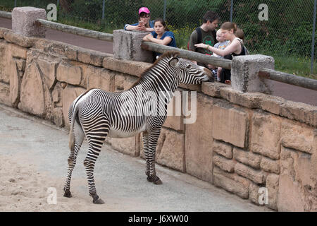 Visitors looking at the Grevy's zebra (Equus grevyi), also known as the imperial zebra at La Palmyre Zoo (Zoo de - Stock Photo