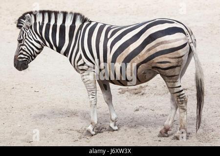 Chapman's zebra (Equus quagga chapmani). - Stock Photo