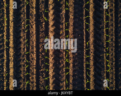 top drone view of corn field in malaysia Stock Photo