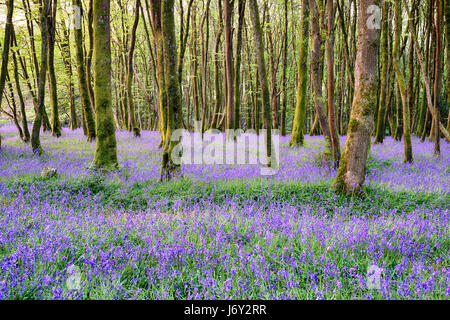 Bluebell woods at Camborne in the Cornwall countryside - Stock Photo