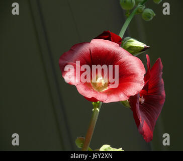 blossoms roses buds mallow bleed red plant pink still life brown brownish - Stock Photo