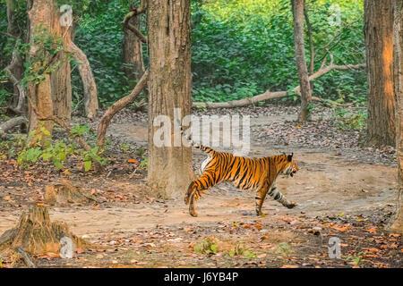Tiger Chasing - Stock Photo