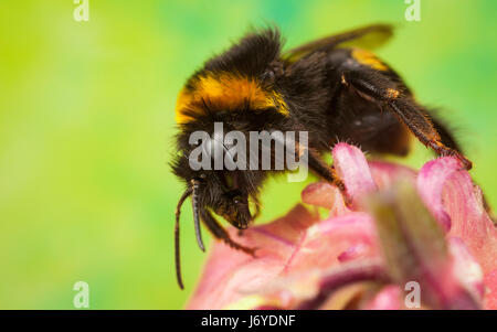 Bumblebee collecting nectar from a flower - Stock Photo