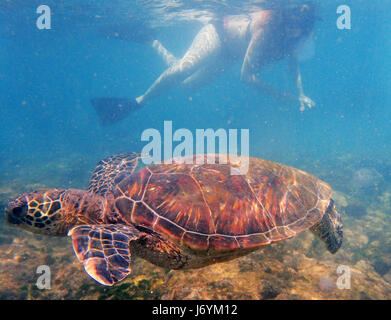 A snorkeler watches a Green Sea Turtle swimming of the coast of Maui. Hawaii - Stock Photo