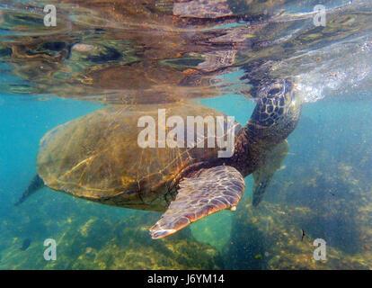 A Green Sea Turtle swimming of the coast of Maui. Hawaii - Stock Photo