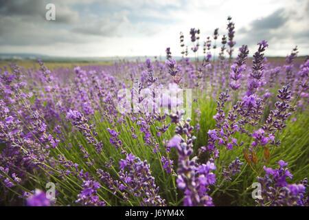 lavender flowers field - Stock Photo
