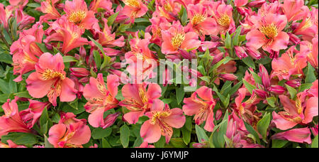 Red alstroemeria flowers and buds wide horizontal banner - Stock Photo