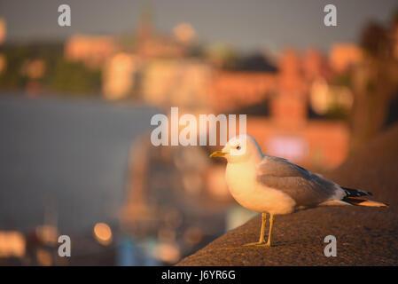 Seagull on a ledge, Stockholm, Sweden - Stock Photo