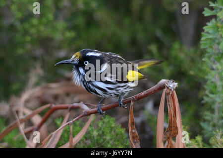 Australian New Holland honeyeater - Stock Photo