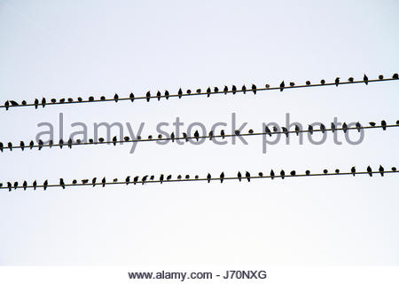 Miami Beach Florida birds perched telephone pole wire pattern behavior order - Stock Photo
