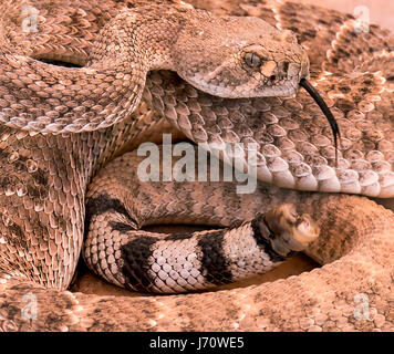 The western diamondback rattlesnake or Texas diamond-back is a venomous rattlesnake species found in the southwestern - Stock Photo