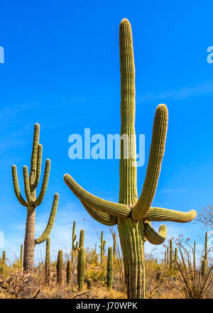 The saguaro is a tree-like cactus that can grow to be over 70 feet (21 m) tall. It is native to the Sonoran Desert - Stock Photo