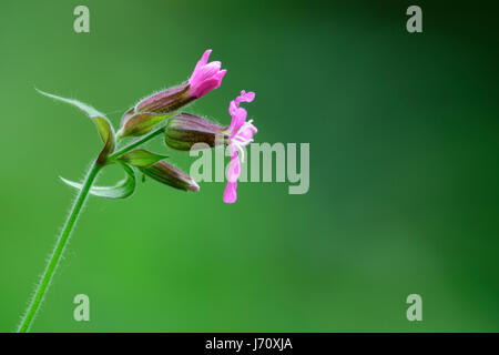 Flower of the red campion or red catchfly - Stock Photo