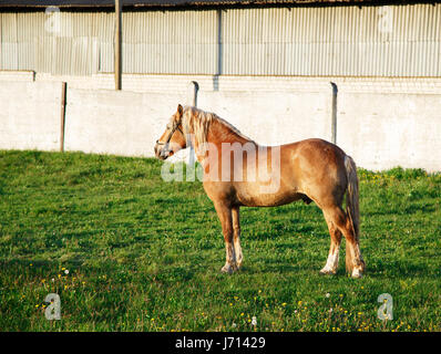 A red horse with a blond mane of harness breed stands on the green grass - Stock Photo