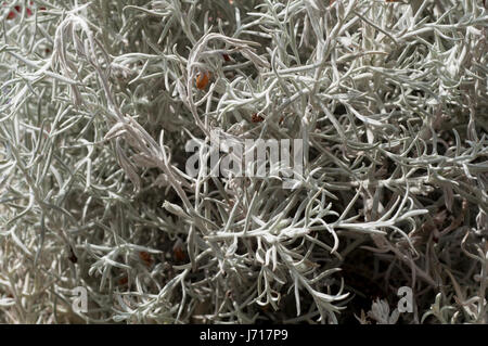 Emu Bush or Silky Eremophila, Eremophila Nivea - Stock Photo