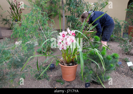 A gardener at Kew Gardens tending plants by a pink Vanda orchid growing in a terra cotta pot in Princess of Wales - Stock Photo