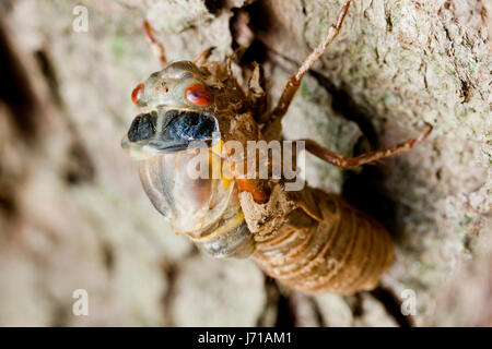 Brood X cicada (Magicicada) during final molt emerging from exoskeleton , May 2017 - Virginia USA - Stock Photo