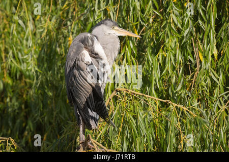 Regent's Park, London, UK. 23rd May, 2017. A grey heron in Regent's Park on a beautiful early morning. The forecast - Stock Photo