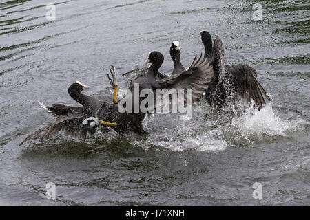 Regent's Park, London, UK. 23rd May 2017. Four coots battle it out during a territorial dispute in Regent's Park. - Stock Photo