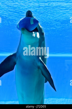 Dolphins at the Mirage, Secret Garden in Las Vegas, Nevada. - Stock Photo