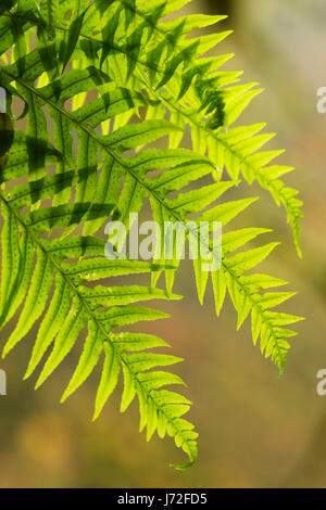 Licorice ferns (Polypodium glycyrrhiza) on Trail of Ten Falls, Silver Falls State Park, Oregon - Stock Photo