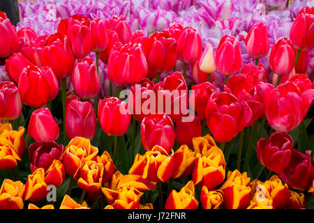 Tulips, Wooden Shoe Bulb Co., Clackamas County, Oregon - Stock Photo