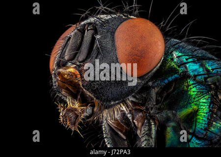 Portrait of a common green bottle fly magnified through a microscope objective - Stock Photo