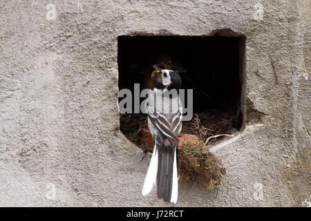 wagtails nest (feeding)