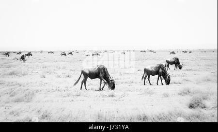 Blue Wildebeest or Brindled Gnu (Connochaetes taurinus) in Migration on the Plains of the Serengeti in Northern - Stock Photo