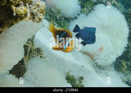 A Tropical fish orange-fin anemonefish, Amphiprion chrysopterus, with a damselfish and sea anemone in background, - Stock Photo