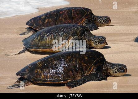 Green Sea Turtles (Chelonia mydas) resting on the beach at Ho'okipa Beach Park, Paia, Maui, Hawaii. - Stock Photo