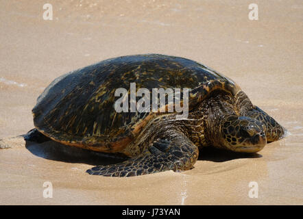 Green Sea Turtles (Chelonia mydas) resting on the beach at Ho'okipa Beach Park, Paia, Maui, Hawaii. - Stock Photo