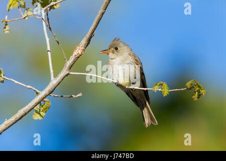 Greater Pewee  Contopus pertinax Santa Catalina Mountains, near Tucson, Arizona, United States 17 May        Adult - Stock Photo