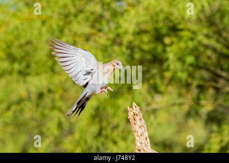 White-winged Dove  Zenaida asiatica Amado, Santa Cruz County, Arizona, United States 20 May       Adult in flight. - Stock Photo