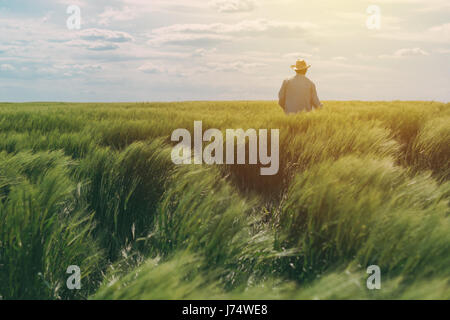Farmer walking through a green wheat field on windy spring day and examining cereal crops - Stock Photo