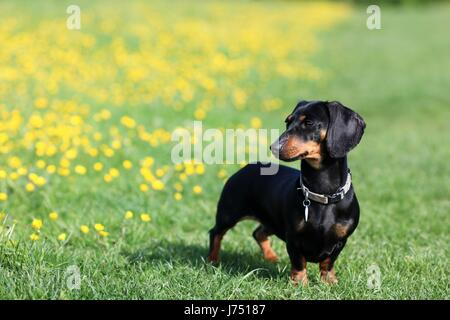 Miniature Dachshund playing in buttercups - Stock Photo