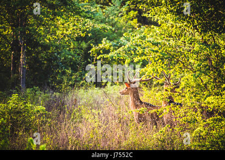 Spotted male horned deer look out across the fields of Udawalawe natural reserve, Sri Lanka. - Stock Photo