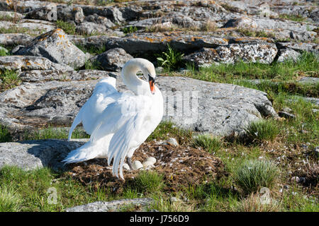 Nesting mute swan at Kutuhället island, Sipoo, Finland, Europe, EU - Stock Photo
