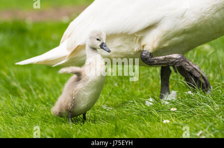 Cygnet. Single Cygnet standing up being protected by an adult swan (Cygnus olor) in late Spring in West Sussex, - Stock Photo