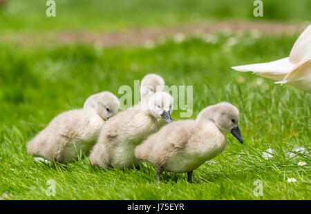 Cygnets. White Mute Swan (Cygnus olor),cygnets in late Spring in the UK. Baby swans. White Mute Cygnets. - Stock Photo