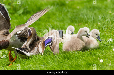 Cygnets (Cygnus olor) facing aggressive Mallard Duck in West Sussex, England, UK. White Mute cygnets, Baby swans. - Stock Photo