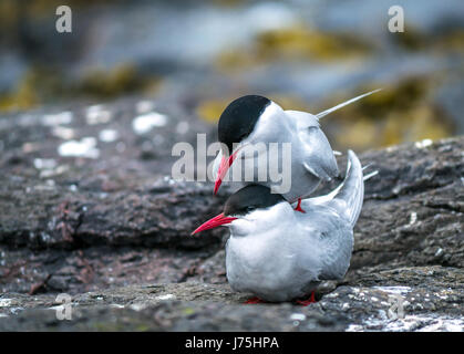 Close up of mating pair of Arctic Terns, Sterna paradisaea, Inner Farne, Farne Islands, Northumberland, England, - Stock Photo