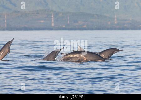 Holiday in Bali, Indonesia - Dolphin Beach Lovina Bali, Dolphin Jumping - Stock Photo