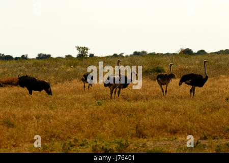 Flock of young Ostrich chicks  running in the African bush - Stock Photo