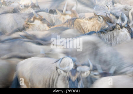 Wildebeest (Connochaetes taurinus), gnu, herd close up with motion blur, Serengeti national park, Tanzania - Stock Photo