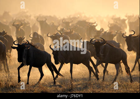 Wildebeests (Connochaetes taurinus) running during migrating at sunrise, Grumeti river, Seregeti national park, - Stock Photo